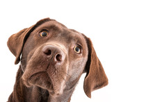 Isolated Image Of A Brown Female Labrador Retriever