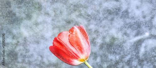 Fototapety, obrazy: Red tulip at snow storm background. Panoramic scene.