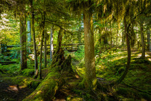 Thick Moss Covered Trees And A Foot Bridge On A Sahalie Falls Tr