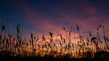 The Bulrushes Against Sunlight...