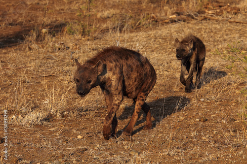 Spoed Foto op Canvas Hyena The spotted hyena (Crocuta crocuta), also known as the laughing hyena
