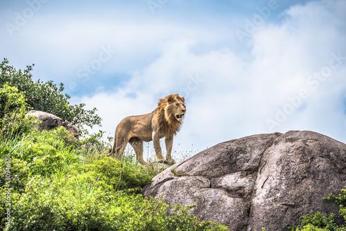 Photo  Alpha male lion staring into the distance, Serengeti, Tanzania, Africa
