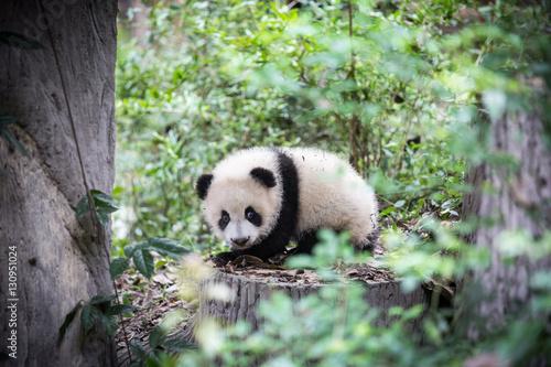 Fotografia, Obraz  Cute young panda