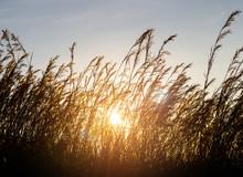 Wild Grass Silhouette Against Sunset