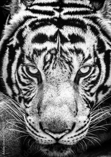 Plakat Tygrys i jego oczy zacięte w czarno-białym stylu.