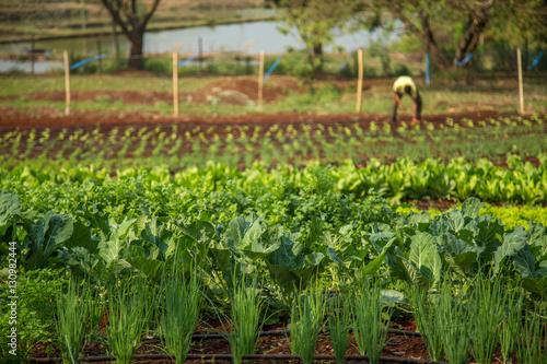 Fotografie, Obraz  alface cultivo