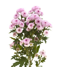 Pink Spray Chrysanthemu With D...