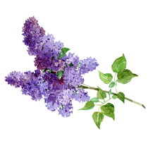Watercolor Bouquet Of Lilac Is...
