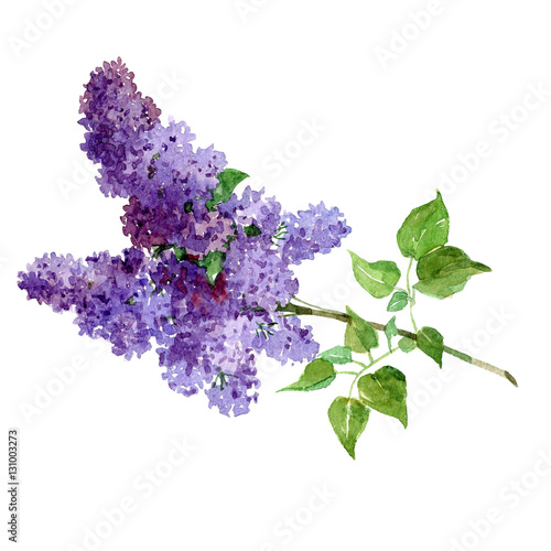 Watercolor bouquet of lilac isolated on a white background illustration.