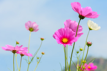 Beautiful of cosmos flowers blooming with blue sky