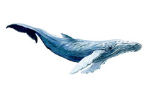 Watercolor Whale Isolated On A White Background Illustration.