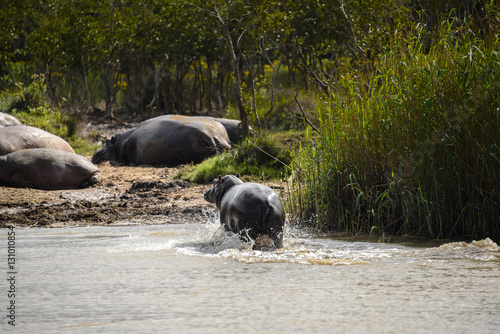 Hippos at the Isimangaliso wetland park, St Lucia, South Africa