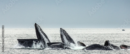 Humpback whales bubble net feeding. Chatham Strait area. Alaska. USA. An excellent illustration.
