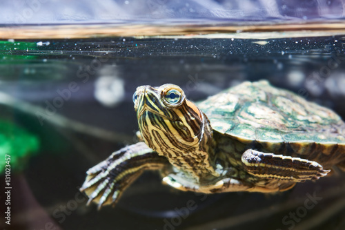 Poster Schildpad Small red-eared turtle in water