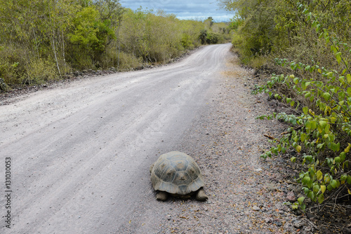 Fotografía  Giant tortoise on the road to the Wall of Tears, Isabela island, Ecuador