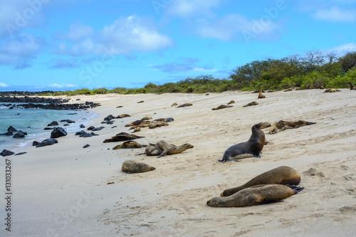 Fotobehang Leeuw Galapagos sea lions at Punta Carola beach, San Cristobal island (Ecuador)