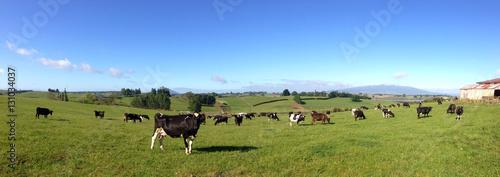 Foto op Plexiglas Weide, Moeras Cows in paddock