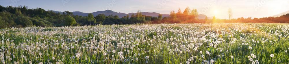 Fototapety, obrazy: Dandelions at sunrise
