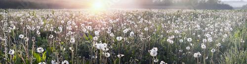 dandelions-o-wschodzie-slonca