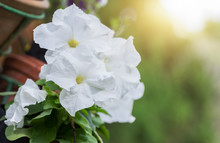 White Petunia Flower With Sunl...