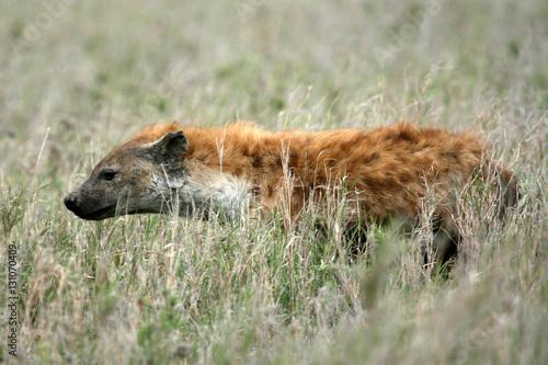 In de dag Hyena Hyena - Serengeti, Africa