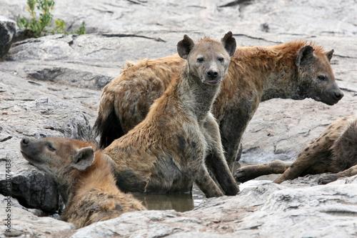 Poster Hyène Hyena - Serengeti, Africa