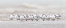 A Group European Sanderling (Calidris Alba) Birds Standing Near The Shore