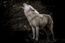 Wolf In The Dark