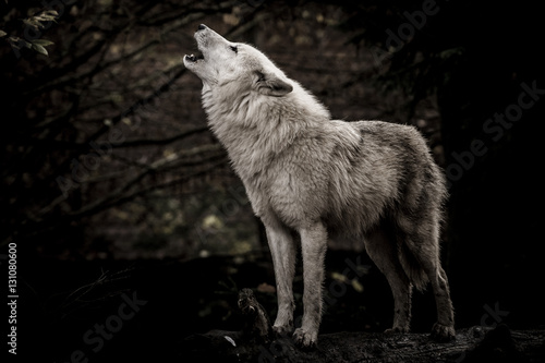 Wolf in the dark Canvas Print