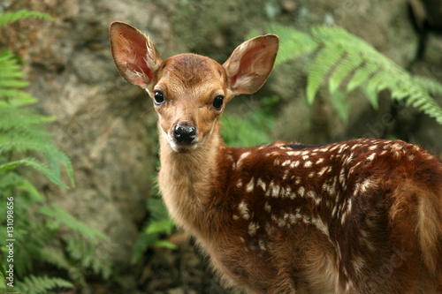 Baby Deer, Japan Canvas Print