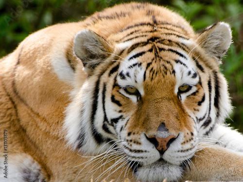 Fototapety, obrazy: An Amur Tiger