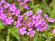Purple Prairie Verbena Flowers In Spring