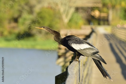 Fotografia, Obraz  Anhinga on a boardwalk over the Gulf of Mexico.