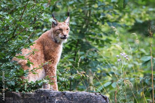 Foto auf Leinwand Luchs Lynx on a rock