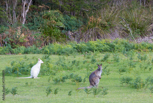 Valokuva  White albino bennets wallaby with brown grey wallaby