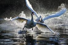 Fighting Swans