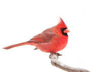 Northern Cardinal Isolated On A White Background Perched On A Branch In Winter In Canada