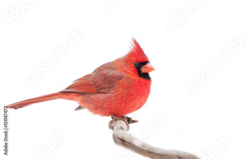 Photo  Northern Cardinal isolated on a white background perched on a branch in winter i
