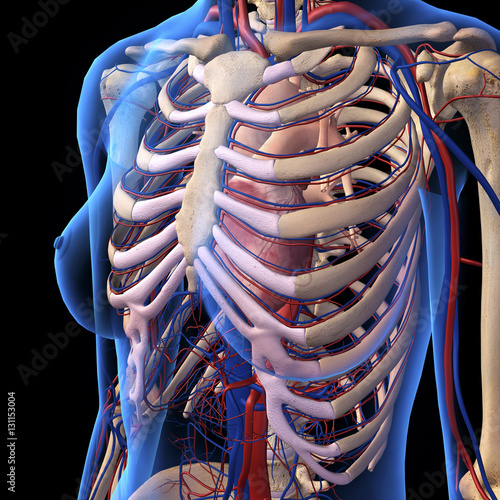 Female Chest, Ribs and Heart in X-ray View - Buy this stock ...