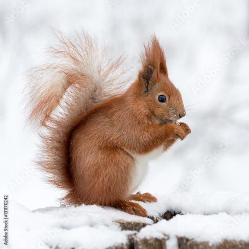 Zdjęcie XXL Śliczne puszyste wiewiórcze łasowanie dokrętki na białym śniegu w zima lesie.