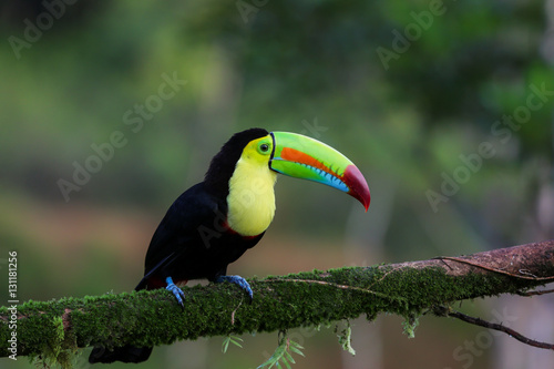 In de dag Toekan Regenbogentukan in Costa Rica