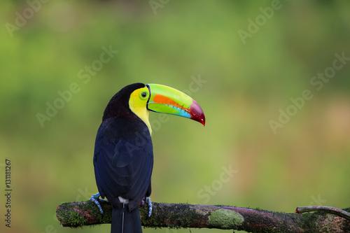 Tuinposter Toekan Regenbogentukan in Costa Rica