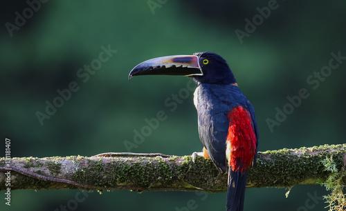 In de dag Toekan Halsbandarassari sitz auf einem Ast im Regenwald