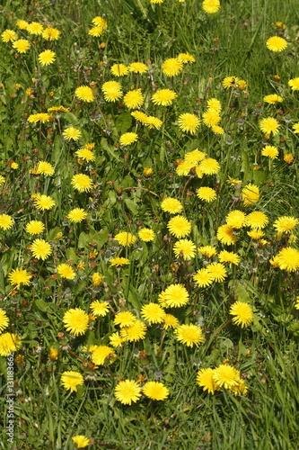 Photo  Löwenzahnblüten auf einer Wiese
