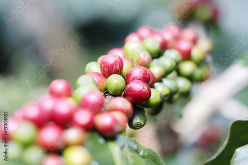 Tuinposter koffiebar Arabica coffee beans on the coffee tree.