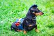 Leinwandbild Motiv Dachshund dog denim clothing like a worker with pliers in the pocket. Selective focus.