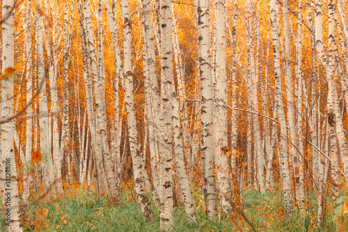 Autumn birch forest pattern.