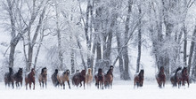 Quarter Horses Running In Snow...