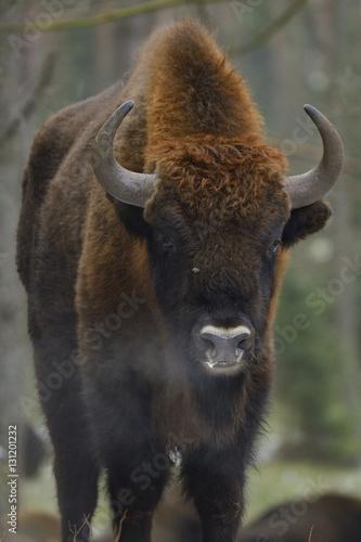European bison (Bison bonasus), Drawsko Military area, Western Pomerania, Poland, February.