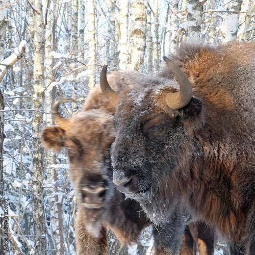 Fototapety, obrazy: Two Wisents in winter birch forest